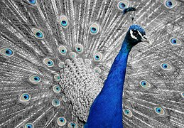 peacock-1676635__180